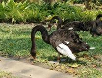 Flock av den svarta svanen på grön gräsmatta i parkera Royaltyfri Fotografi