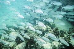 Flock av den tropiska fisken Arkivfoto