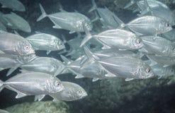 Flock av den tropiska fisken Royaltyfri Fotografi