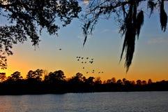 Flock av den vita ibits på solnedgången Arkivbild