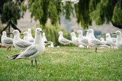 Flock av den vita seagullen i Nya Zeeland arkivbild