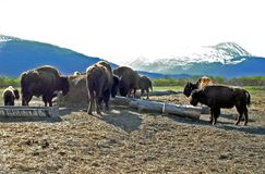 Flock av den Wood bisonen på mitten för Alaska djurlivbeskydd Royaltyfri Fotografi