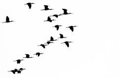 Flock av denvände mot ibits Silhouetted på en vit bakgrund Arkivbilder
