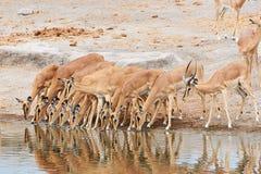 Flock av denvände mot impalan Royaltyfri Fotografi