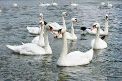 Flock av det härliga svanbadet i sjön royaltyfria foton