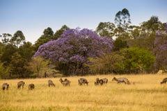 Flock av det Waterbucks anseendet i Savannah av den Mlilwane djurlivfristaden, Swaziland royaltyfria bilder