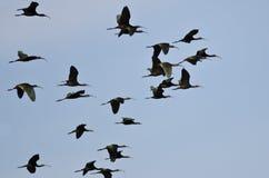 Flock av detvände mot ibisflyget i en blå himmel Arkivbilder