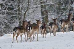 flock av dovhjortar som håller ögonen på i den vita snöig skogen i vintern royaltyfri foto
