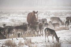 Flock av dovhjortDamadamaen som omkring går i den dimmiga vinterdagen som medföljs av den inhemska hästen arkivbilder