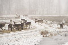 Flock av dovhjortDamadamaen som omkring går i dimmig vinterdag royaltyfri fotografi