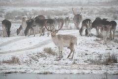Flock av dovhjortDamadamaen som omkring går i dimmig vinterdag arkivfoto
