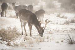 Flock av dovhjortDamadamaen som omkring går i dimmig vinterdag arkivbild