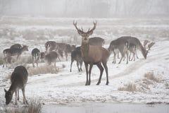 Flock av dovhjortDamadamaen som omkring går i dimmig vinterdag fotografering för bildbyråer