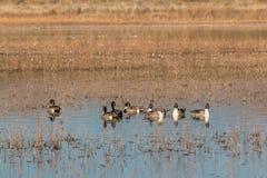 Flock av Drake Pintails Arkivfoto
