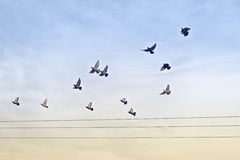 Flock av duvor över makttrådar Royaltyfria Foton
