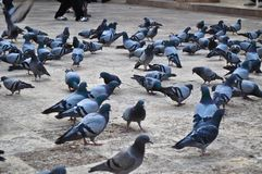 Flock av duvor royaltyfri fotografi