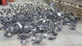 Flock av duvor royaltyfria foton