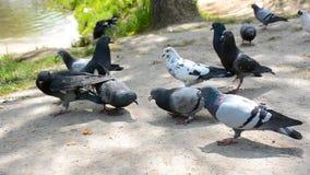 Flock av duvor som äter brödsmulor Den soliga dagen i staden parkerar stock video