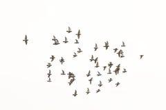 Flock av duvor som isoleras på vit royaltyfria foton