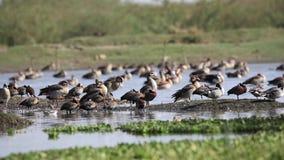 Flock av egyptisk gäss på kust stock video