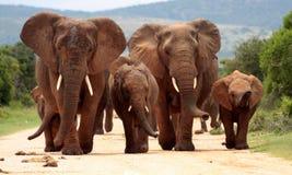 Flock av elefanten i Sydafrika Royaltyfri Foto