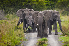 Flock av elefanten Sydafrika royaltyfri bild