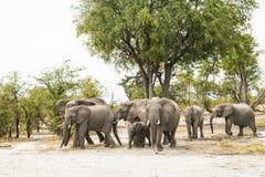 Flock av elefanter Royaltyfri Fotografi
