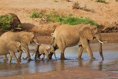 Flock av elefanter arkivbild