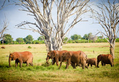 Flock av elefanter Arkivbilder