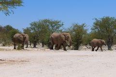 Flock av elefanter Royaltyfri Bild