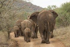 Flock av elefanter Royaltyfri Foto