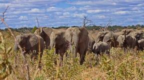 Flock av elefanter Afrikansk africana för buskeelefantLoxodonta, också som är bekant som den afrikanska savannelefanten arkivfoton