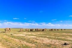 Flock av elefanter Gå bort Amboseli Arkivfoton