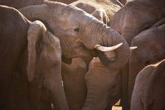Flock av elefanter i Addo Elephant NP, Sydafrika royaltyfri fotografi