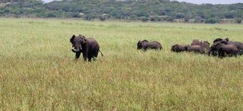 Flock av elefanter i africa royaltyfri fotografi