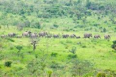 Flock av elefanter i borsten i den Umfolozi lekreserven, Sydafrika som är etablerad i 1897 Royaltyfria Foton