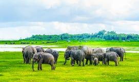 Flock av elefanter i den Kaudulla nationalparken, Sri Lanka royaltyfri foto