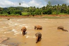 Flock av elefanter i floden Royaltyfria Bilder