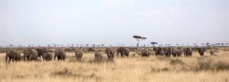 Flock av elefanter i masaien Mara arkivbilder