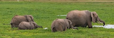 Flock av elefanter i träsken royaltyfri fotografi