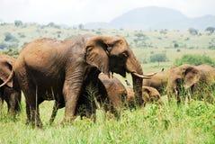 Flock av elefanter, Kidepo dal, Uganda royaltyfria foton
