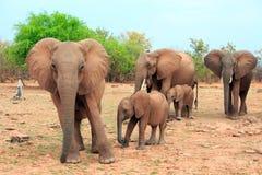 Flock av elefanter mot en naturlig buskebakgrund i den Matusadona nationalparken, Zimbabwe royaltyfria bilder