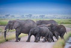 Flock av elefanter på afrikansk savannah Royaltyfria Foton