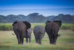 Flock av elefanter på afrikansk savannah Arkivbild
