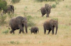 Flock av elefanter på flyttningen i Sydafrika royaltyfri foto