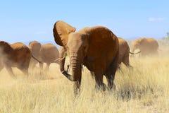 Flock av elefanter på samburunationalparken Royaltyfri Fotografi