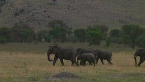 Flock av elefanter Serengetien arkivfilmer