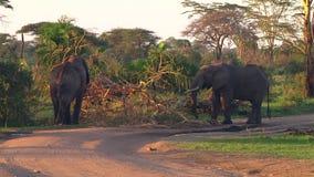 Flock av elefanter Serengetien lager videofilmer