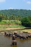 Flock av elefanter som badar i Maha Oya River Pinnawala elefantbarnhem Sri Lanka royaltyfri fotografi