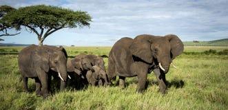 Flock av elefanter som går, Serengeti Arkivbilder
